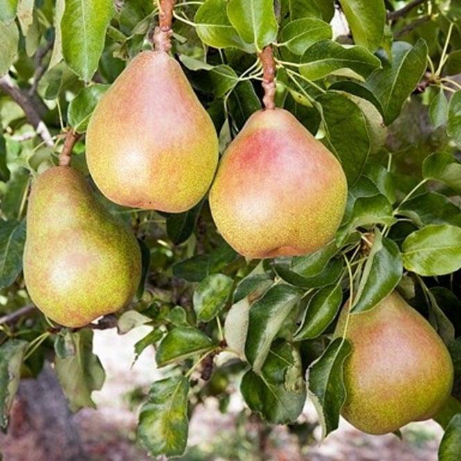 Cultivate Oxford pear, comice